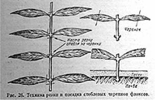 РАЗМНОЖЕНИЕ МНОГОЛЕТНИХ ФЛОКСОВ