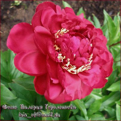 Цвет:темно-красный, бархатистые лепестки, в короне пояс из красных стаминодий с золотистым окаймлением.