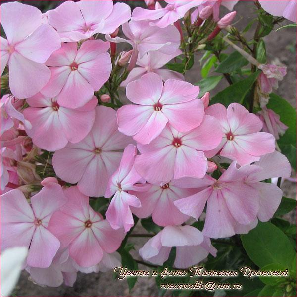 Цвет яблони флокс описание